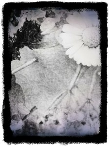 flower daguerrotype