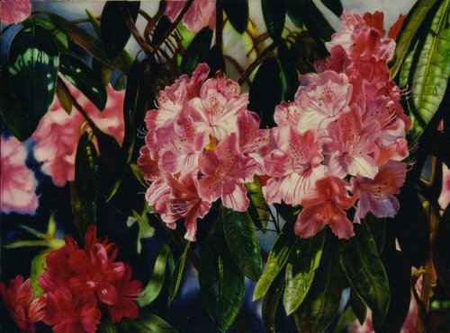 """Rhododendron-Coeloneur"" Oil on Linen, 24"" x 18"" by artist Carolyn Sterling. See her portfolio by visiting www.ArtsyShark.com"