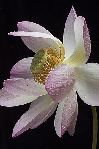 """Lotus on Black"" Photography Giclee on Stretched Canvas, 16"" x 20"" by artist Nancy Ridenour. See her portfolio by visiting www.ArtsyShark.com"