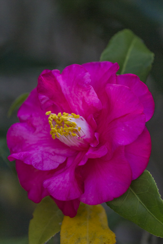 """Camellia"" Photography, Various Sizes by artist Roberta London. See her portfolio by visiting www.ArtsyShark.com"