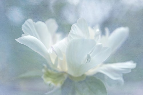 """White Peony"" Photographic Print on Archival Canvas, 45"" x 30"" by artist Kathleen Hall. See her portfolio by visiting www.ArtsyShark.com"