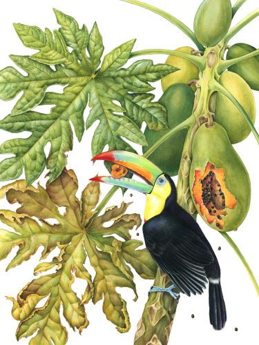 colored pencil drawing of a Toucan in a Papaya Tree by Mindy Lighthipe