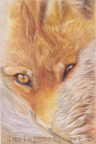 colored pencil drawing of a fox by Lesley Martyn