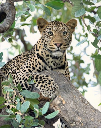 oil painting of a leopard in a tree by Bruce K. Lawes