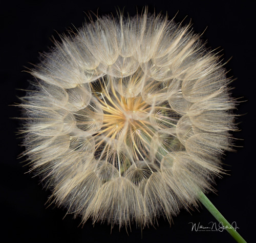 photograph of a dandelion puff by William Gillis